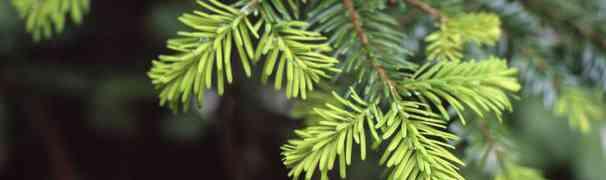 Træorm
